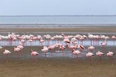 Rosy Flamingo koloni i den Walvis fjärden Namibia Arkivbild