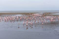 Rosy Flamingo koloni i den Walvis fjärden Namibia Royaltyfri Foto
