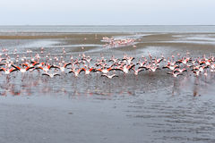 Rosy Flamingo koloni i den Walvis fjärden Namibia royaltyfria foton