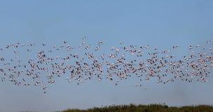 Rosy Flamingo-kolonie in Walvis-Baai het wild van Namibië, Afrika stock videobeelden