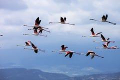 Rosy Flamingo, Phoenicopterus-ruber roseus Stockbilder