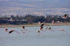 Free Rosy Flamingo, Phoenicopterus Ruber Roseus Stock Images - 51794594