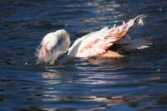 Rosy Flamingo, Phoenicopterus ruber roseus, when bathing Royalty Free Stock Photos