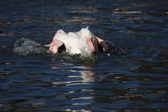 Rosy Flamingo, Phoenicopterus ruber roseus, when bathing Stock Photos