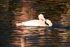 Rosy Flamingo, Phoenicopterus ruber roseus, when bathing Stock Images