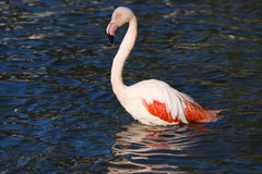 Rosy Flamingo, Phoenicopterus ruber roseus, when bathing Stock Photo