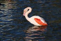 Rosy Flamingo, Phoenicopterus ruber roseus, when bathing Stock Image
