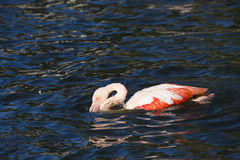 Rosy Flamingo, Phoenicopterus ruber roseus, when bathing Royalty Free Stock Image