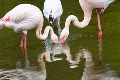 Rosy Flamingo, Phoenicopterus ruber roseus,a few pecks filter the water in search of microscopic food Royalty Free Stock Photography