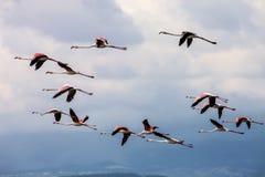 Rosy Flamingo, Phoenicopterus ruber roseus Stock Images
