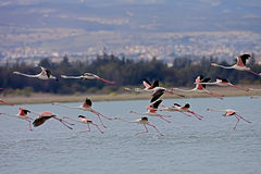 Rosy Flamingo, Phoenicopterus ruber roseus. Flying over the salt lake Akrotiri in Cyprus Stock Images