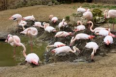 Rosy Flamingo, Phoenicopterus ruber roseus, on nesting Royalty Free Stock Photos