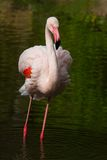 Rosy Flamingo, Phoenicopterus ruber roseus, standing in water Stock Photos
