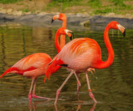 Rosy flamingo at the spring lake Stock Photo