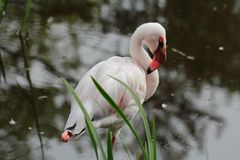 Rosy flamingo waterbird wading in the river Stock Photography