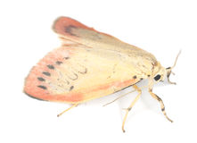 Rosy footman isolated Stock Photography
