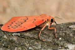 Rosy footman moth (Miltochrista miniata) Stock Image