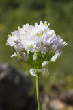 Rosy Garlic (Allium roseum) flower Royalty Free Stock Photography