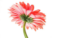 Rosy gerbera Royalty Free Stock Photos