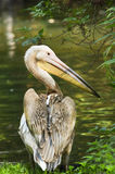 Rosy- or Great white pelican Stock Image