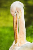 Rosy- or Great white pelican Stock Photography