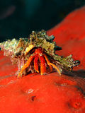 Rosy hermit crab Royalty Free Stock Photography