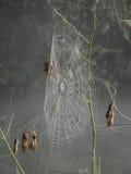 rosy jest już objętych pajęczynę Fotografia Stock