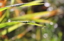 Rosy kropla na dzikiej trawie Zdjęcie Stock