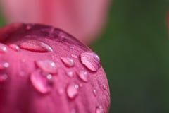 Rosy kropla na menchia kwiacie Fotografia Stock