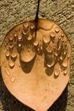 rosy kropli liść Fotografia Royalty Free