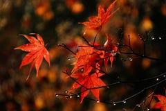rosy kropli liść klonu czerwień fotografia stock