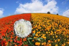 rosy kwiatu płatków śnieżny iskrzasty biel Obrazy Stock
