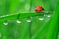 rosy ladybird Zdjęcia Royalty Free