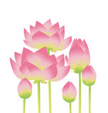 Rosy lotus lilies decorative floral element. On white background. vector illustration Stock Photos