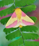 Rosy Maple Moth (Dryocampa rubicunda) Royalty Free Stock Photography