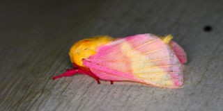 Rosy Maple Moth (Dryocampa rubicunda) Stock Images