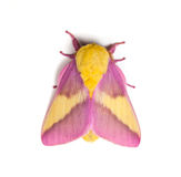Rosy Maple Moth. (Dryocampa rubicunda) on a white background Stock Photo