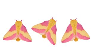 Rosy Maple Moths (Dryocampa rubicunda) Stock Photo