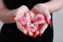 Rosy orchid Royalty Free Stock Photo