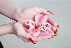 Rosy orchid Stock Photography