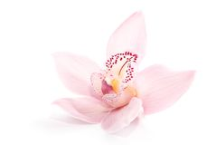 Rosy orchid isolated on white background Royalty Free Stock Photography