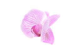 Rosy orchid isolated on white background Royalty Free Stock Photos