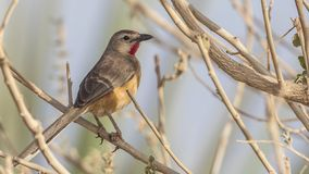 Rosy-patched Bush-shrike. Rhodophoneus cruentus, n perches on branch of tree in Negele, Ethiopia, Africa royalty free stock image