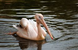 Rosy Pelican Royalty Free Stock Photos