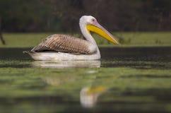 Rosy Pelican imagenes de archivo