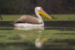 Rosy Pelican immagini stock