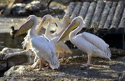 Rosy Pelican fotografia stock
