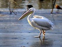Rosy Pelican fotos de archivo