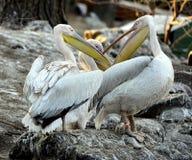 Rosy Pelican fotografia stock libera da diritti