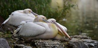 Rosy Pelican immagini stock libere da diritti
